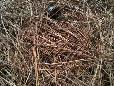 Using Pine needles for mulch