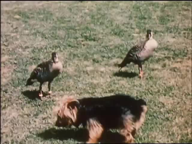 Nēnē at Cloudbank Farm 1966