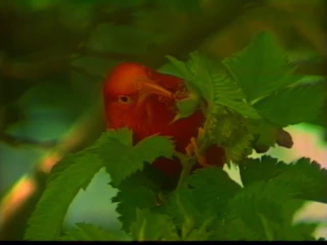Kīlauea eruption and Hawaiian bird footage courtesy of Ka ʻIo Productions