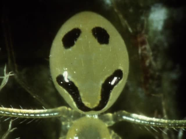 Slides of Happy-face spiders and ʻAmakihi