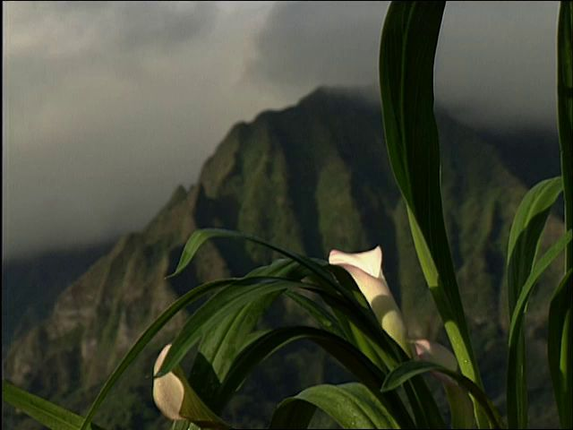 B-roll footage of a Calla Lily Koʻolau mountains