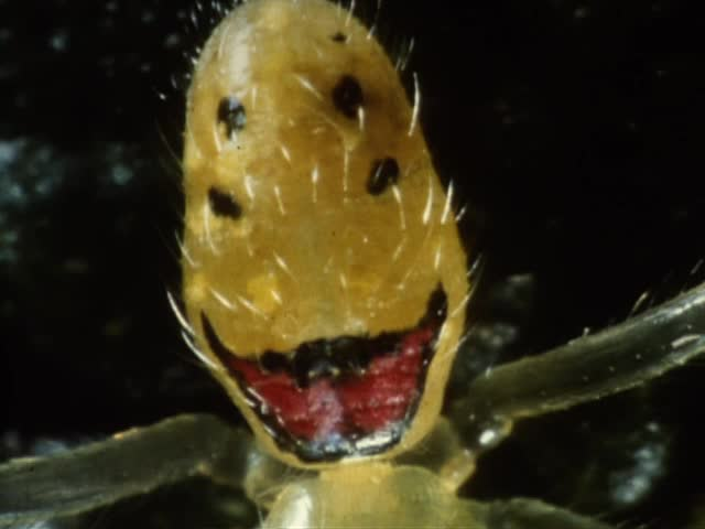 Slides of Happy-face spiders